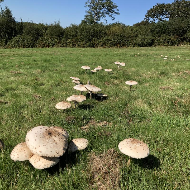 mushrooms-parasols