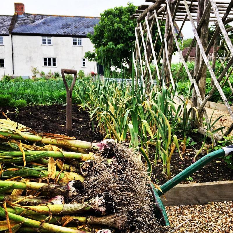 kitchen-garden-farmhouse-garlic-harvest-wheelbarrow-1