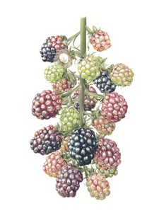 blackberry-watercolour-on-paper-56x76cm