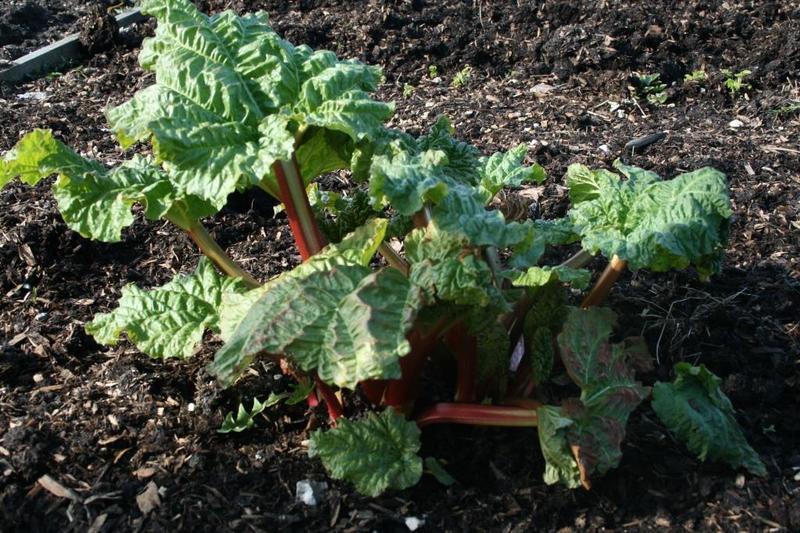 Early rhubarb jam